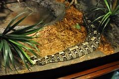 gabino viper - hybrid B. gabonica x B. nasicornis (markusOulehla) Tags: bronxzoo nyc newyorkcity markusoulehla nikond90 citytrip thebigapple usa