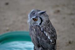 Northern White-faced Owl (Glenn Pye) Tags: birds bird owl birdsofprey nikon nikond3000 d3000