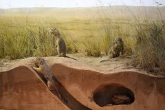 Arctic Ground Squirrels (demeeschter) Tags: canada yukon territory whitehorse beringia interpretive centre museum heritage archaeology palaeonthology history attraction science