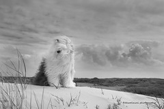 Sophie in black and white (dewollewei) Tags: old english sheepdog sheepdogs sheep oes bobtail dewollewei oescn bob sophieandsarah sophie ameland beach zwart wit blackandwhite