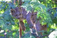 Lynx Links (conwest_john) Tags: torontozoo canadalynx specanimal