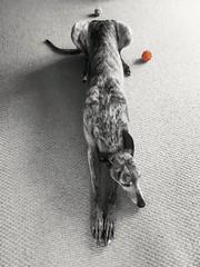 Longdog (rubyturner2) Tags: greyhound dog longdog brindle selectivecolour bw textures