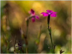 Dianthus Vampire (Unni Henning) Tags: macro blossom dianthusvampire dianthus closeup garden latesummer autumn warwickshire england pink smallflower bokeh narrow narrowdepthoffield