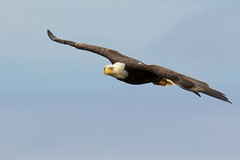 Adult Eagle flyby (rs) (Blingsister) Tags: americanbaldeagle baldeagle eagleinflight baldeaglemale raptor wildraptor blingsister melanieleesonwildlifephotography canon7dmarkii canonef100400mmf4556lisiiusm14xiii northernvancouverisland