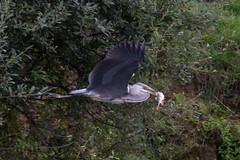 untitled (robwiddowson) Tags: heron flight flying feeding fish nature wildlife natural animal animals birds robertwiddowson photo photograph photography image picture
