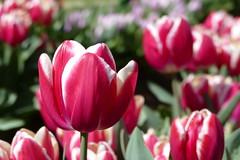 Tulips at Tesselaar Tulip Festival (The Pocket Rocket) Tags: tulips tesselaartulipfestival dandenongranges victoria australia famousflickrfivegroup silvan