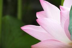 Seoul 2016 (mauxditty) Tags: seoul korea southkorea lunnanniversasia asia lotus flower nature pink pretty changdeokgung palace secretgarden