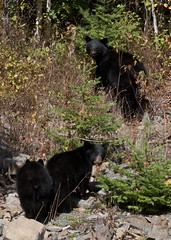 DSC_9374 (devoutly_evasive) Tags: blackbear blackbears bears cubs young mother mama mum mom kids wildlife family kin thunderbay northern northwestern ontario canada