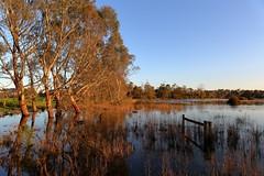 Gums and Water (blachswan) Tags: wetland wetlands mullahwallahwetlands winterswamp water sunrise swan blackswan cygnusatratus eucalyptus eucalypts gums