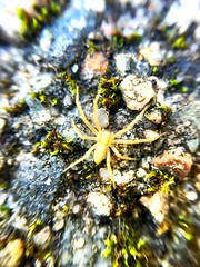 Spider on the rocks (nikitalesnik) Tags: closeup lens macrolens macro steps iphone6plus iphone6 iphone yellowspider yellow morning mossy rocks spider nature