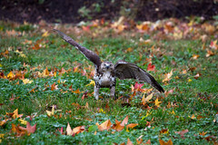 hawk-3931.jpg (HVargas) Tags: bird birds hawk wildlife aves falcon prey redtailed chickenhawk falconry redtailedhawk carnivoro harrishawk harrisshawk harlans gavilan ractor baywingedhawk duskyhawk ratonerodecolaroja gavilncolirrojo