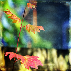 bliss to me (1crzqbn) Tags: autumn sunlight color nature square shadows bokeh textures 7d ie shining hss vinemaple coth vividimagination artdigital trolled memoriesbook awardtree magicunicornverybest 1crzqbn sliderssunday netartii blisstome 45522012