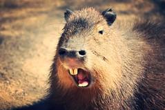 Yawning Capybara  (Hydrochoerus hydrochaeris) (RichardJames1990) Tags: face fur nose photography james rodent eyes funny head teeth leeds large ears richard capybara yawning cavie