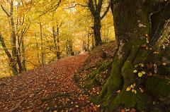 Autumn path (elosoenpersona) Tags: parque autumn espaa tree fall forest de arbol spain natural path asturias colores otoo sendero cordillera redes tarna caso cantabrica hayedo tabayon mongayu elosoenpersona