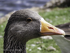 """Curious Duck • <a style=""""font-size:0.8em;"""" href=""""http://www.flickr.com/photos/44019124@N04/8174932199/"""" target=""""_blank"""">View on Flickr</a>"""