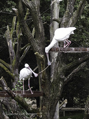 """Spoonbills building a nest • <a style=""""font-size:0.8em;"""" href=""""http://www.flickr.com/photos/44019124@N04/8174964280/"""" target=""""_blank"""">View on Flickr</a>"""