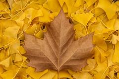 _MDG0407 (NikonDigifan) Tags: autumn brown fall yellow washington nikon spokane arboretum mapleleaf ginkoleaves d300 fincharboretum tamron18270 mikegassphotography nikcollection