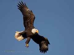 Just Dropping In (alextbaum) Tags: bird birds eagle baldeagle talon birdsinflight eagles bif talons baldeagles birdinflight specanimal