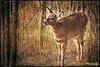 Another Deer Photo (Denise Trocio (D Trocio Photography)) Tags: forest outdoors woods wildlife ngc deer textures allrightsreserved whitetaileddeer illinoisbeachstatepark canon7d artistictreasurechest dtrociophotography
