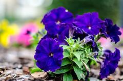 Petunias (BGDL) Tags: home garden purple petunias lakewoodranch nikond7000 ourdailychallenge bgdl nikkor50mm118g elementsorganizer11