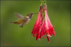 Volcano Hummingbird (Chris Jimenez - Take Me To The Wild) Tags: nature birds costarica hummingbird wildlife birding endemic hummers selasphorus volcanohummingbird cerrodelamuerte flammula