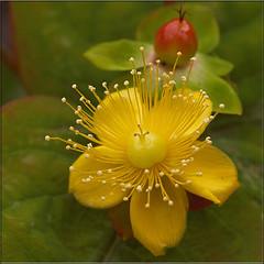 Hertshooi (Hypericum) (Geziena) Tags: holland nederland zomer tuin geel rood bloem stamper bloeien meeldraden bloemknop