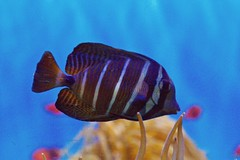 fish animal nature aquarium birchaquarium lajolla california blue zajdowicz canon eos dslr 7d availablelight fauna
