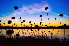 November Sunset (Doug Wallick) Tags: november flowers sunset lake minnesota silhouette crystal lightroom robbinsdale a55 mygearandme mygearandmepremium mygearandmebronze mygearandmesilver mygearandmegold picmonkey
