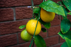 Lemons (oz_lightning) Tags: plants nature closeup garden australia canberra citrus macquarie aus act lenstest cultivated introduced rutaceae polarisingfilter olympusomsystem canon40d lensmountadapter zuiko28mmautof28 olympusomlenstocanoneos