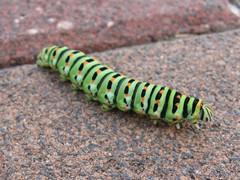 Caterpillar (common yellow swallowtail) - זחל (זנב סנונית נאה) (yoel_tw) Tags: caterpillar swallowtail papiliomachaon זחל זנבסנונית