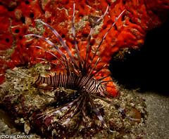 Little Lion (scubaman11) Tags: fish underwater me2youphotographylevel2 me2youphotographylevel1
