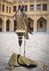 FALCON (RASHID ALKUBAISI) Tags: nikon falcon nikkor nano d3 doha qatar rashid d800 d4  d90      d3x nikond90 nikond4 alkubaisi d3s nikond3   nikond800 ralkubaisi nikond3s wwwrashidalkubaisicom wwwrashidalkubaisi