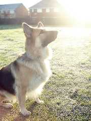 Sunrise.. (JDorotaPhotography) Tags: november sun cold eye wet grass sunrise nose photography photo shepherd freezing german paws rise alsatian greta 2012 froze
