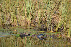 Turtle sighting (vacationer1901) Tags: florida alligator greatblueheron whiteibis greategret snowyegret tricoloredheron anhinga shorebirds stmarksnationalwildliferefuge commonmoorhen redheadduck queenbutterfly glossyibiswoodstork