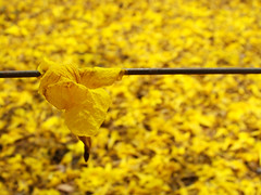 Golden Rain (osvaldoeaf) Tags: flowers brazil macro tree nature up rain yellow brasil garden golden petals drops spring close bokeh amarelo ip cerrado goinia gois wonderfulworldofflowers