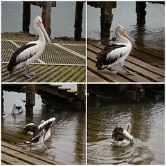 Going, going ....... (Miss Tiggywinkle) Tags: pelicans water harbour nsw newsouthwales southcoast wollongong australianbirds australianpelicans australiannativebirds australianbeachesbayswaterways