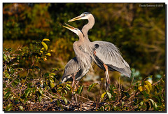Thank you, Hon! ~ Happy Valentines Day! (Fraggle Red) Tags: bird heron nature couple branch nest florida wetlands twig stick greatblueheron courting delraybeach nestbuilding ardeaherodias wakodahatcheewetlands wakodahatchee canonef100400mmf4556lisusm palmbeachco adobelightroom41