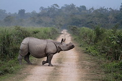 Rhino Crossing... (Arun Sundar) Tags: india nature animals canon one nationalpark wildlife indian safari telephoto rhino species endangered assam mammals rhinoceros arun horned kaziranga tigersafari canon100400mm canon7d arunsundar
