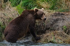 Alaska12_04688 (irmischmider) Tags: bear alaska river eagle bald kodiak weisskopfseeadler bearcamp kodiakbr rohrer uganik