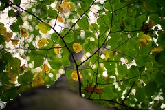 Bokeh heaven (icemanphotos) Tags: autumn tree trees leaf perspective bokeh magical colors yellow above details iceman 50mm icemanphotos canon