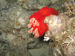 Spanish Dancer (energia buran) Tags: sea fish coral barco underwater redsea dive egypt deep diving egipto wreck reef buceo thistlegorm arrecife submarinismo pecio marrojo rasmohammed photosub abunahas sharkyolanda tiranstraight
