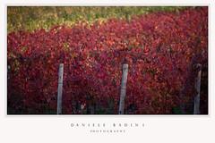 rosso autunno (doby1958) Tags: foglie pali autunno rosso viti vigna filari