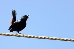 robin (Avinash Kunigal) Tags: bird nature robin birds canon lens is pigeon telephoto ii t3 250mm 1100d 55250mm