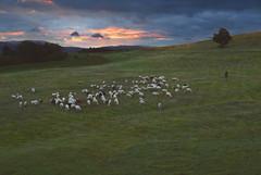 Radiša Živković - 137 (Radisa Zivkovic) Tags: mountain rural sunrise landscape nikon scenery europe sheep tara serbia pasture herd srbija planina sheepman