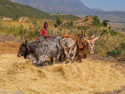 Ethiopie - préparation du tef 2012