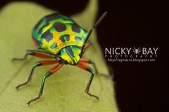Shield-Backed Bug (Scutelleridae) - IMG_7302 (nickybay) Tags: macro bug scutelleridae shieldbacked pulautekong