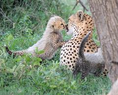 Cheetah cubs with mother at Serengeti NP in Tanzania-162 1-21-12 (lamsongf) Tags: africa baby animal cat tanzania mammal cub feline cheetah youngster carnivore