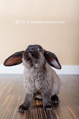 Bunny (mrsm_jones) Tags: portrait pet moon black cute rabbit bunny animal studio easter lens 50mm prime grey jones mixed paint child dwarf f14 bees alien gray michelle ears mini bee floppy mk2 5d breed wham bam eared lop ptm bham petography mmii b400 b800 5dmkii 5dmk2 purpleturtlephotography