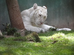 Deep thought (jrucker94) Tags: vegas lasvegas tiger mirage whitetiger secretgarden