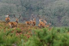 Off we go - (devonteg) Tags: november wild nikon reddeer 2012 exmoor stags d80 novembercolours 70300mm4556vr